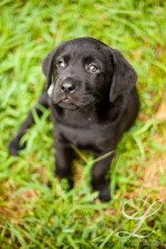 Charlottesville Pet Portraits | Service Dogs Puppy Fever!