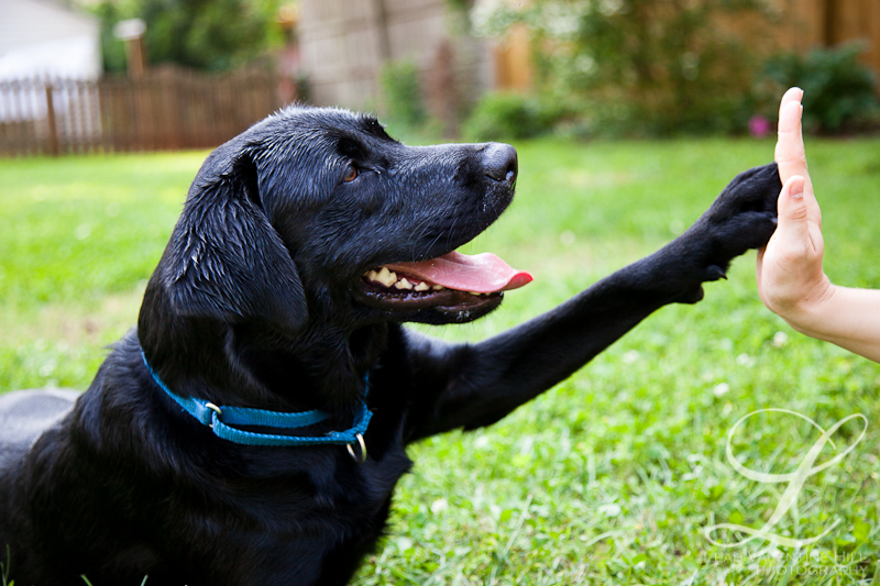 black lab giving high five for service dogs of virginia