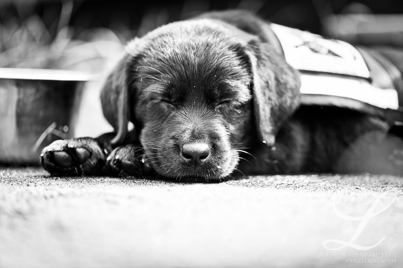 black and white portrait of a sleeping black lab puppy for service dogs of virginia