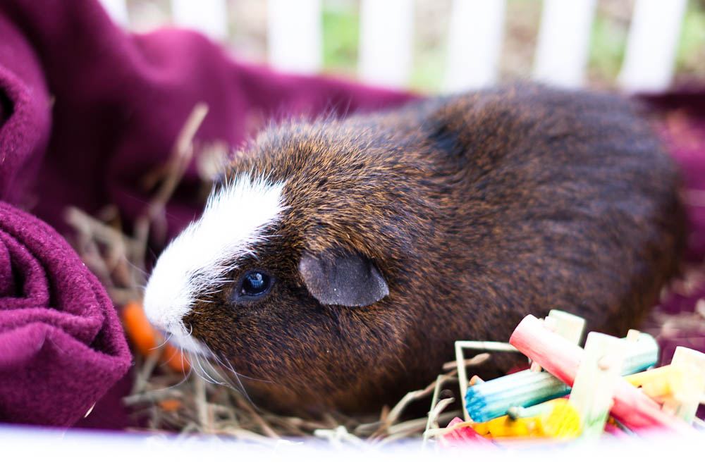guine pig at a portrait session in santa ana, ca